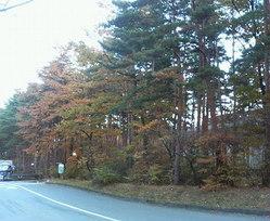 hakushu-trees